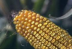 Corn On The Cob Close-up Stock Footage