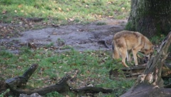 An eating wolf chased away by another one Stock Footage