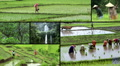 indonesia bali rice field montage Footage