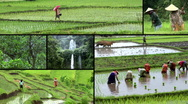 Stock Video Footage of indonesia bali rice field montage