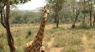 Stock Video Footage of Giraffe P2