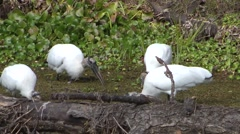 Flock of wood storks feeding in marsh - stock footage