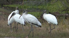 Wood storks flocking in grassy wetland - stock footage