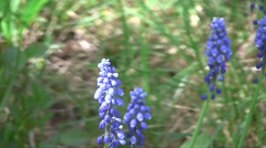 Grape Hyacinth (Muscari armeniacum) flowers swaying in the wind in the spring ga Stock Footage