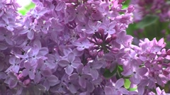 Common Lilac (Syringa vulgaris) flowers swaying in the wind in the spring garden - stock footage