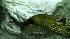 Blue beauty rat snake Stock Footage