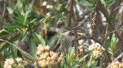 Black Chinned Hummingbird Stock Footage
