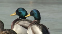 Two Mallard Ducks Quacking - stock footage