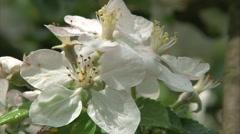 Blossomy tree Stock Footage