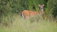 Stock Video Footage of white tail deer