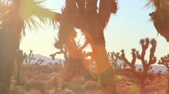 JOSHUA TREES DOLLY SHOT Stock Footage