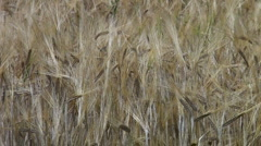 Wheat field background Stock Footage