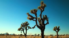 THREE JOSHUA TREES - stock footage