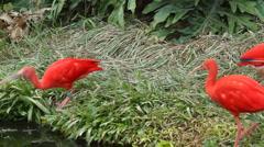 Scarlet ibis (eudocimus ruber) - 02 Stock Footage