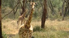 Giraffes P2 - stock footage