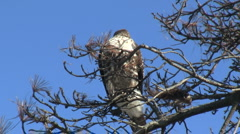 Red Tailed Hawk Perched On Branch Stock Footage