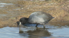 American Coot Stock Footage