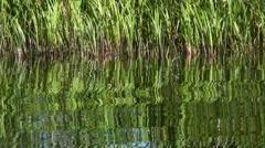 Reeds Stock Footage
