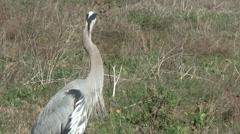 Great Blue Heron Stock Footage