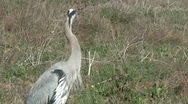 Stock Video Footage of Great Blue Heron