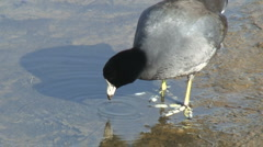 American Coot Pecking At Surface Of Water Stock Footage