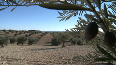 OLIVE FIELDS 7 Stock Footage