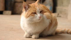 Sitting ginger cat Stock Footage