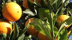Oranges citrus Stock Footage