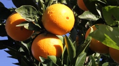 Citrus, orange tree Stock Footage