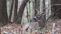 White-tailed deer buck bedded in the forest - stock footage