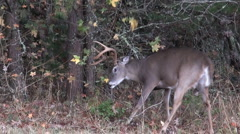 Stock Video Footage of White-tail deer buck violently attacks brush with antlers