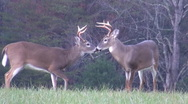 Stock Video Footage of White-tailed deer bucks sparring in an open field