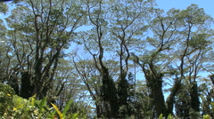 Hawaii Monkey pod branches Stock Footage