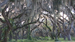 Live Oak Trees Stock Footage