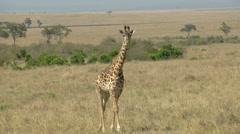 Giraffes savana P3 - stock footage