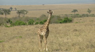 Stock Video Footage of Giraffes savana P3