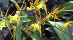 Hawaii Spider shaped yellow orchids 2 Stock Footage
