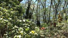 Hawaii Tilts up monkeypod trees 3 Stock Footage