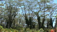 Hawaii Tilts up monkeypod trees  Stock Footage