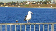Stock Video Footage of Seagull on Pier Rail