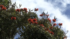 Flowers on tulip tree Stock Footage