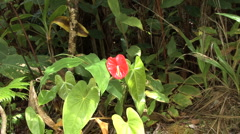 Stock Video Footage of Hawaii Zooms on anthurium flower