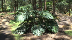 Hawaii Zooms on Monstera flower  - stock footage