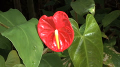 Stock Video Footage of Hawaii Zooms out from anthurium