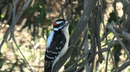 Stock Video Footage of Downy Woodpecker Tapping On Tree