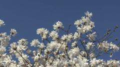 Japanese magnolia tree white flowers 2 Stock Footage