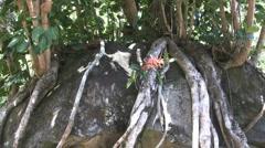 Kauai Flower and tree root on stone  Stock Footage
