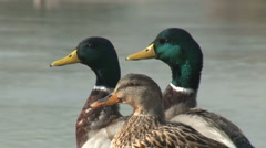 Mallard Ducks - stock footage