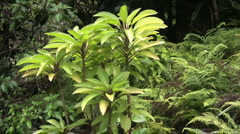 Kauai Native plant and ferns in a jungle setting Stock Footage
