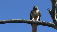 Red Tailed Hawk Flying Off Of Perch Stock Footage